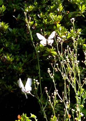 乱舞するホソオチョウ、小さなアゲハチョウだ。尾羽の突起がたいへん長く優雅に飛行する。子供のころには見た記憶がない、おそらく本来は中国大陸の蝶らしい。蝶の世界も国際化しているのだろうか。