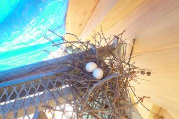 鳩の巣の中に卵が!
