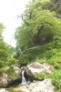 天王桜 集落の氏神である対馬神社を地元の人々は「天王さん」と呼ぶことからついた名前