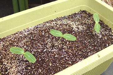 来年のために蒔いた瓢箪の種が発芽しました