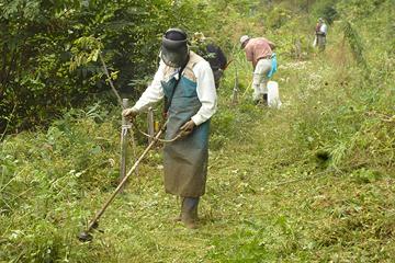 鎌で苗木の周りの下草を刈った後、草刈り機が繁った夏草を刈っていく