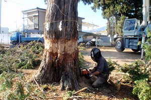 11月6日 乾燥のため本年6月に樹皮をむいておいた杉の大木を伐倒する