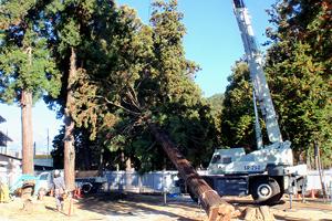 伐倒された大木、樹齢は杉が150年、桧が180年