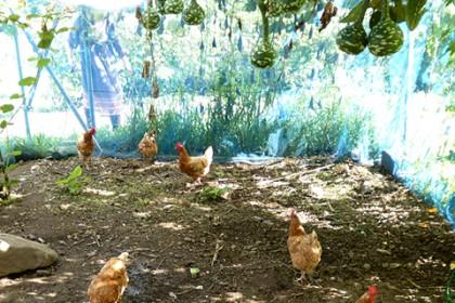 農園内に飼われるニワトリ