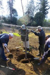 スコップで50cmほどの穴を掘り高さ約2.5mの苗木を植えます