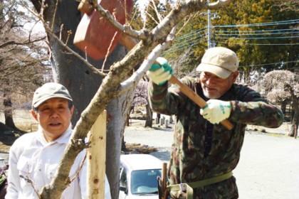 支柱杭を打って桜の苗木を支える作業