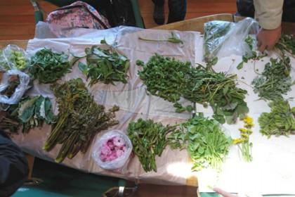 集まった山菜 フキノトウ・ナンテンハギ・ヤマホトトギス・コゴミ・タンポポ・ヨモギ・コシアブラ・タンポポ・ミツバ・ウド・タラノメ・オヤマボクチ・ドクダミ・ハルジオン・ユキノシタ